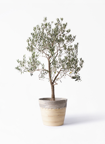 観葉植物 オリーブの木 10号 ピッチョリーネ アルマ コニック 白 付き