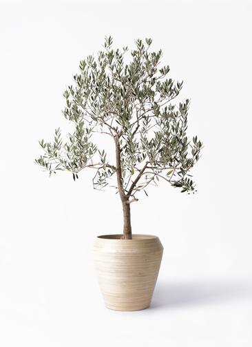 観葉植物 オリーブの木 10号 ピッチョリーネ アルマ ミドル 付き