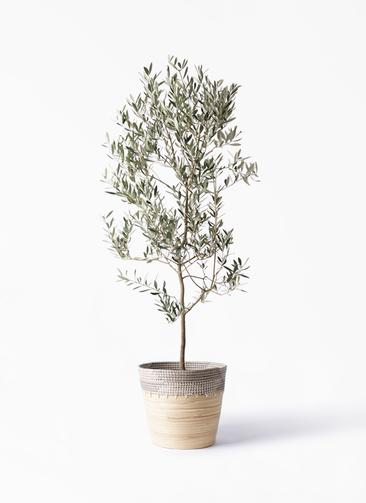 観葉植物 オリーブの木 10号 ミッション アルマ コニック 白 付き