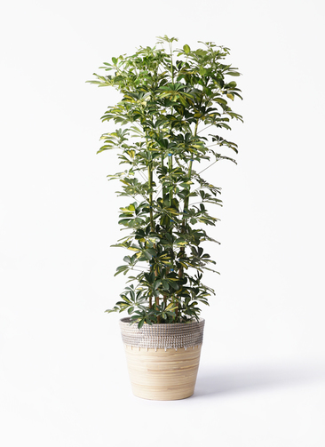観葉植物 カポック(シェフレラ) 10号 斑入り アルマ コニック 白 付き