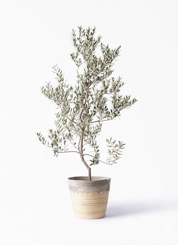 観葉植物 オリーブの木 10号 レッチーノ アルマ コニック 白 付き