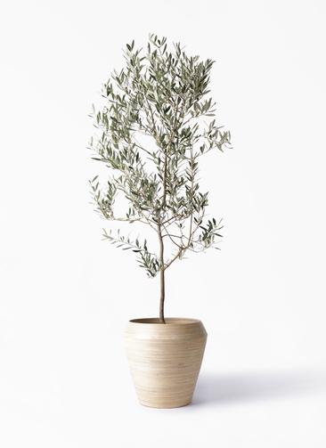 観葉植物 オリーブの木 10号 ミッション アルマ ミドル 付き
