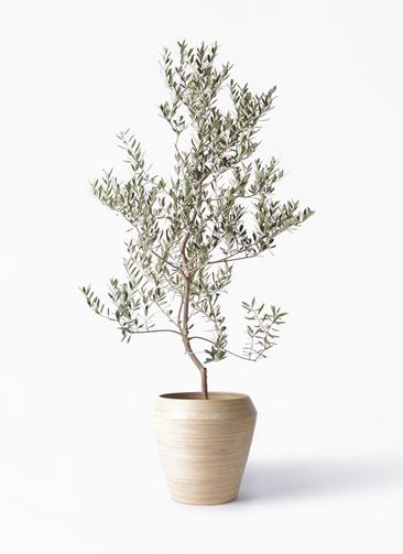 観葉植物 オリーブの木 10号 レッチーノ アルマ ミドル 付き