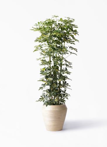 観葉植物 カポック(シェフレラ) 10号 斑入り アルマ ミドル 付き