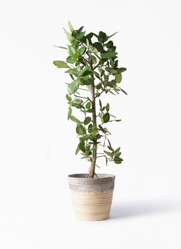 観葉植物 フィカス ベンガレンシス 10号 ストレート アルマ コニック 白 付き