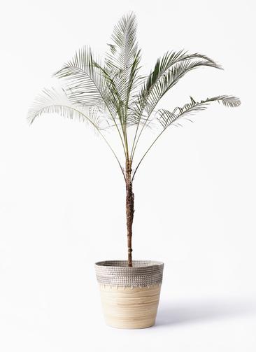 観葉植物 ヒメココス 10号 アルマ コニック 白 付き