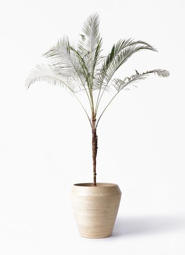 観葉植物 ヒメココス 10号 アルマ ミドル 付き
