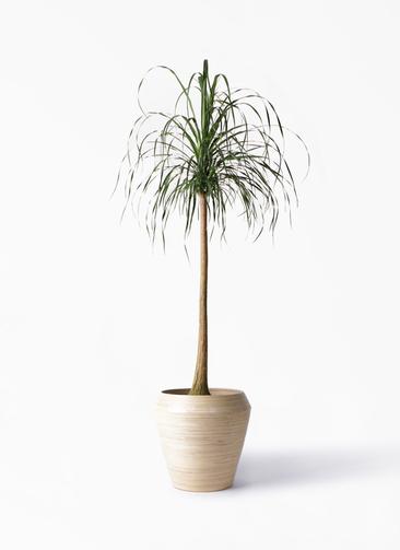 観葉植物 トックリラン ポニーテール 10号 アルマ ミドル 付き
