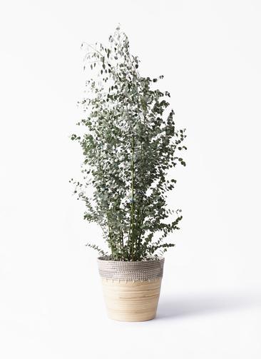 観葉植物 ユーカリ 10号 グニー アルマ コニック 白 付き