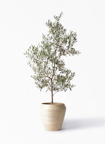 観葉植物 オリーブの木 10号 ピクアル アルマ ミドル 付き
