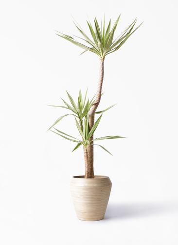 観葉植物 ユッカ 10号 斑入り アルマ ミドル 付き