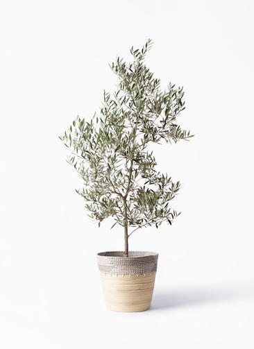 観葉植物 オリーブの木 10号 ピクアル アルマ コニック 白 付き
