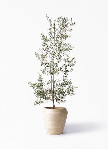 観葉植物 オリーブの木 10号 アルベキーナ アルマ ミドル 付き