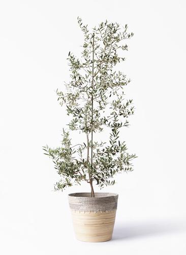 観葉植物 オリーブの木 10号 アルベキーナ アルマ コニック 白 付き