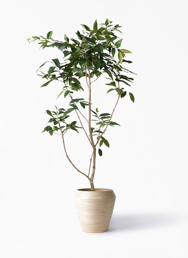 観葉植物 アマゾンオリーブ (ムラサキフトモモ) 10号 アルマ ミドル 付き
