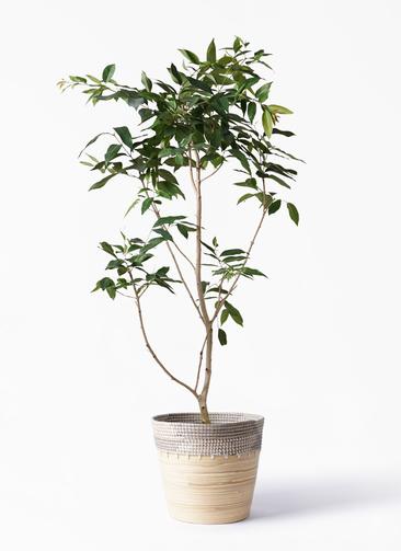 観葉植物 アマゾンオリーブ (ムラサキフトモモ) 10号 アルマ コニック 白 付き