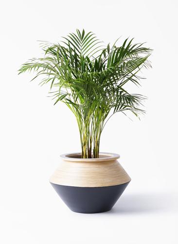 観葉植物 アレカヤシ 8号 アルマジャー 黒 付き