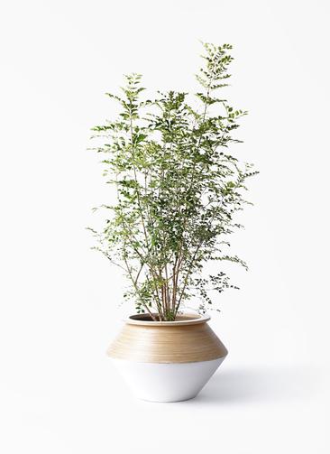 観葉植物 シマトネリコ 8号 アルマジャー 白 付き