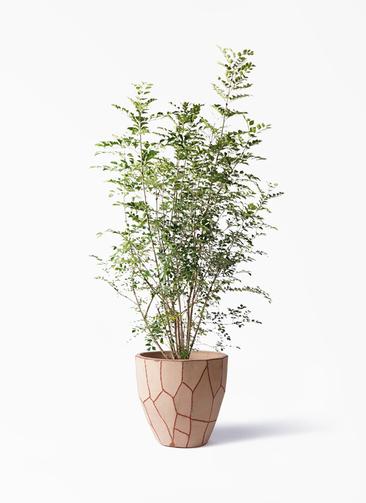 観葉植物 シマトネリコ 8号 ウィスク 付き
