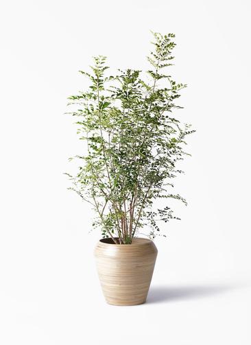 観葉植物 シマトネリコ 8号 アルマ ミドル 付き
