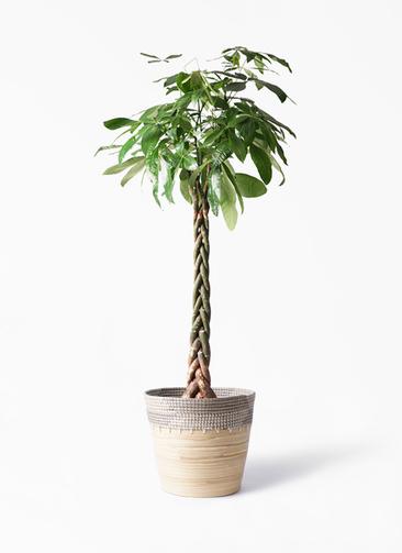観葉植物 パキラ 10号 ねじり アルマ コニック 白 付き