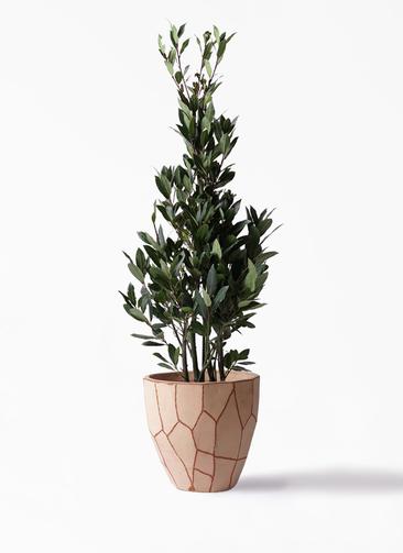 観葉植物 月桂樹 8号 ウィスク 付き