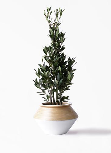 観葉植物 月桂樹 8号 アルマジャー 白 付き