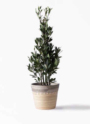 観葉植物 月桂樹 8号 アルマ コニック 白 付き