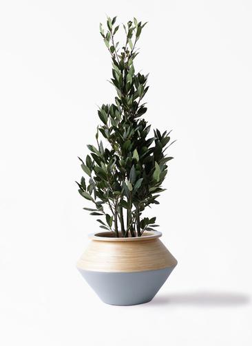 観葉植物 月桂樹 8号 アルマジャー グレー 付き