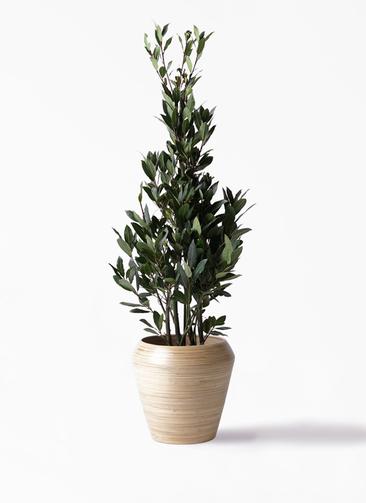 観葉植物 月桂樹 8号 アルマ ミドル 付き