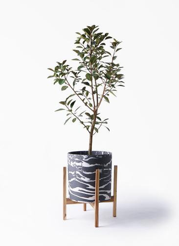 観葉植物 フランスゴムの木 8号 ノーマル ホルスト シリンダー マーブル ウッドポットスタンド付き