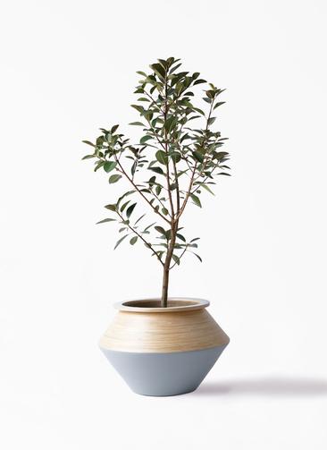 観葉植物 フランスゴムの木 8号 ノーマル アルマジャー グレー 付き