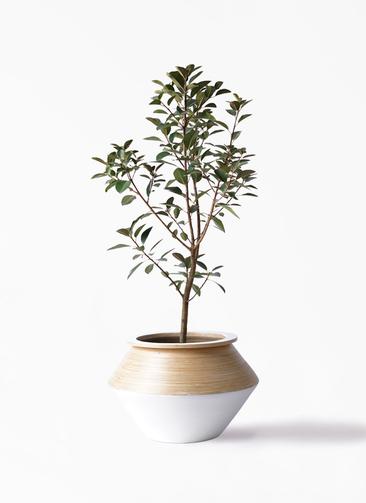 観葉植物 フランスゴムの木 8号 ノーマル アルマジャー 白 付き