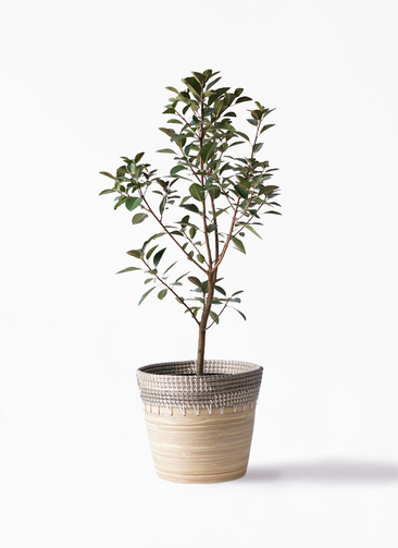 観葉植物 フランスゴムの木 8号 ノーマル アルマ コニック 白 付き