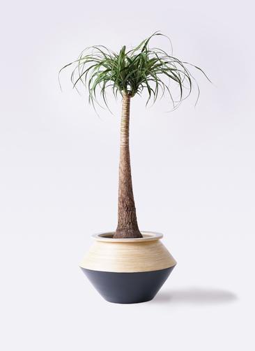 観葉植物 トックリラン ポニーテール 8号 アルマジャー 黒 付き