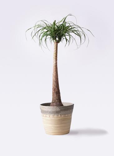 観葉植物 トックリラン ポニーテール 8号 アルマ コニック 白 付き