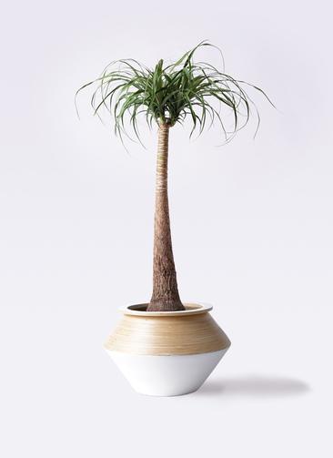 観葉植物 トックリラン ポニーテール 8号 アルマジャー 白 付き