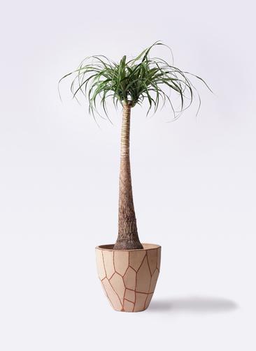 観葉植物 トックリラン ポニーテール 8号 ウィスク 付き