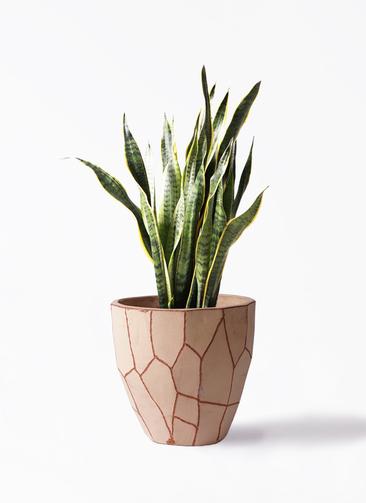 観葉植物 サンスベリア 8号 トラノオ ウィスク 付き