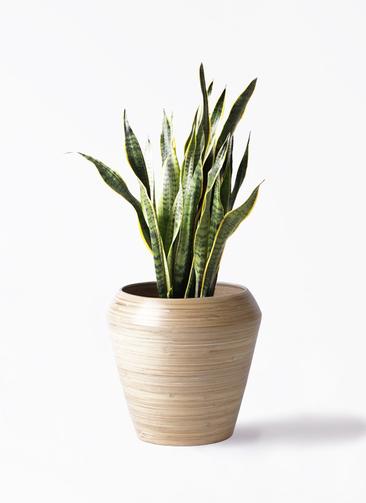 観葉植物 サンスベリア 8号 トラノオ アルマ ミドル 付き