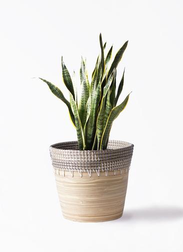 観葉植物 サンスベリア 8号 トラノオ アルマ コニック 白 付き