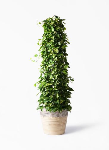 観葉植物 ポトス 10号 アルマ コニック 白 付き
