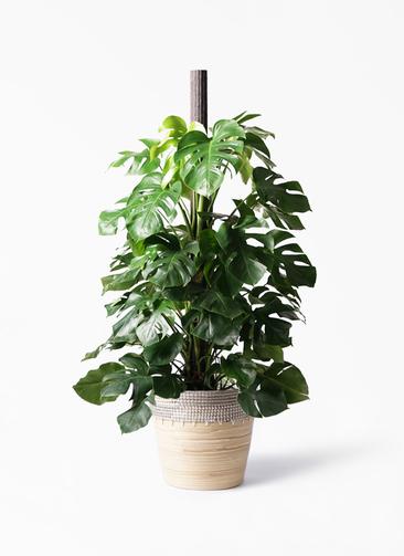 観葉植物 モンステラ 10号 ヘゴ柱 アルマ コニック 白 付き