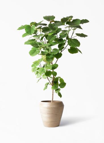 観葉植物 フィカス ウンベラータ 10号 ノーマル アルマ ミドル 付き