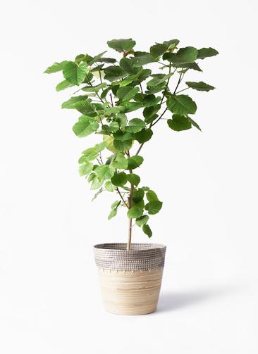 観葉植物 フィカス ウンベラータ 10号 ノーマル アルマ コニック 白 付き