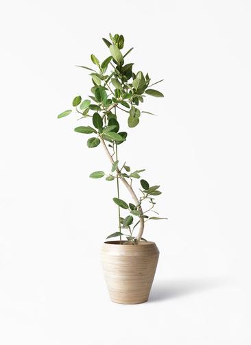 観葉植物 フィカス ベンガレンシス 10号 曲り アルマ ミドル 付き