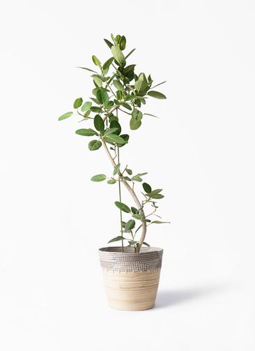 観葉植物 フィカス ベンガレンシス 10号 曲り アルマ コニック 白 付き