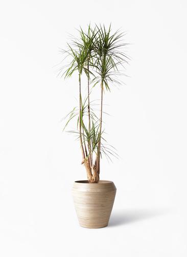 観葉植物 ドラセナ コンシンネ 10号 アルマ ミドル 付き