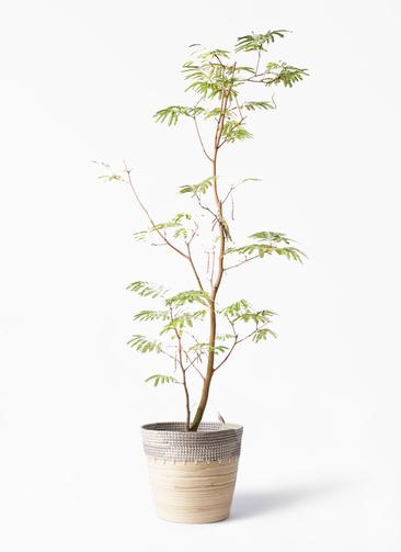 観葉植物 エバーフレッシュ 10号 ボサ造り アルマ コニック 白 付き