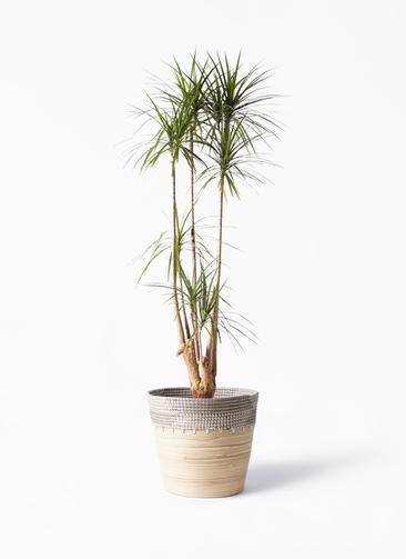 観葉植物 ドラセナ コンシンネ 10号 寄せ アルマ コニック 白 付き